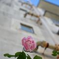 Photos: 薔薇を見上げる