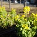 Photos: もう菜の花?