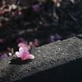 Photos: 落ちた花