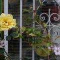 Photos: 窓辺の薔薇