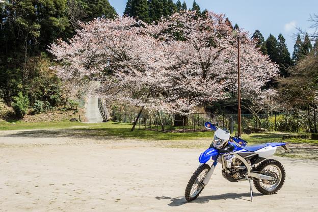 旧久保山分校の山桜-2