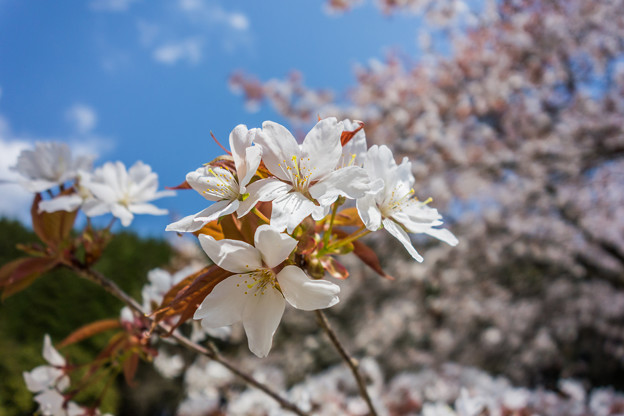 旧久保山分校の山桜-3