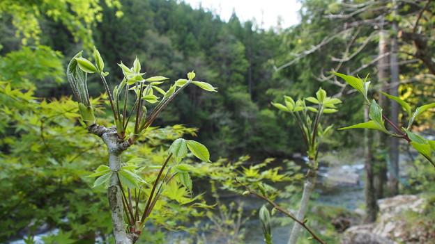 トウダイの芽