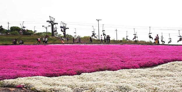 茶臼山高原 芝桜