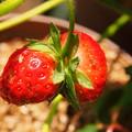 ふたごイチゴ