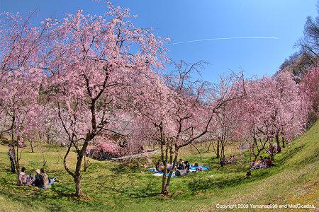 櫻風景 2009_3