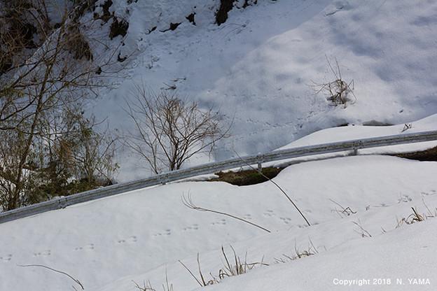 Photos: ニホンノウサギ
