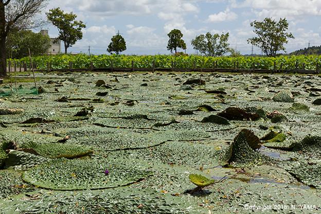 写真: 十二町潟水郷公園・オニバスの池