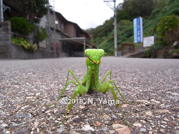 写真: ハラビロカマキリ