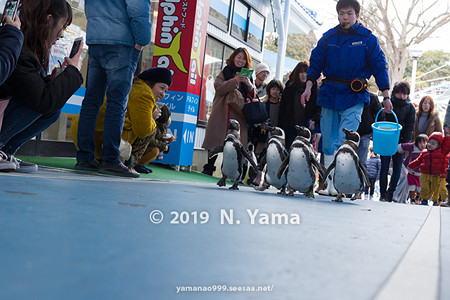 ペンギンのお散歩タイム