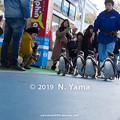 Photos: ペンギンのお散歩タイム