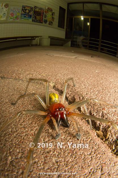 カバキコマチグモ