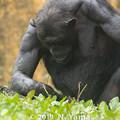 Photos: チンパンジー