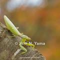 Photos: ハラビロカマキリ