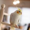 Photos: オカメインコ(ルチノー)