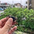 Photos: サワガニ