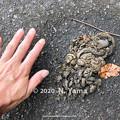 Photos: ニホンツキノワグマの糞