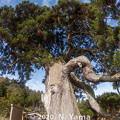 高照寺の倒さ杉