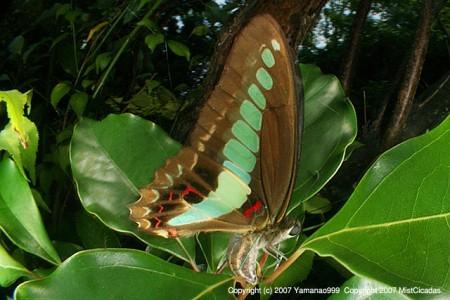 アオスジアゲハの産卵