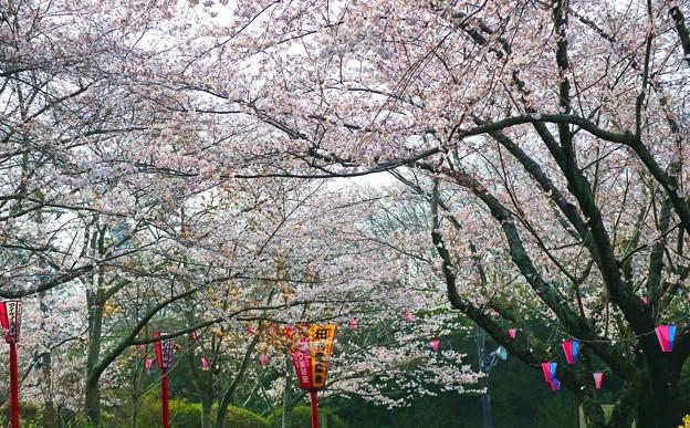 1.小見川城山公園の桜-A