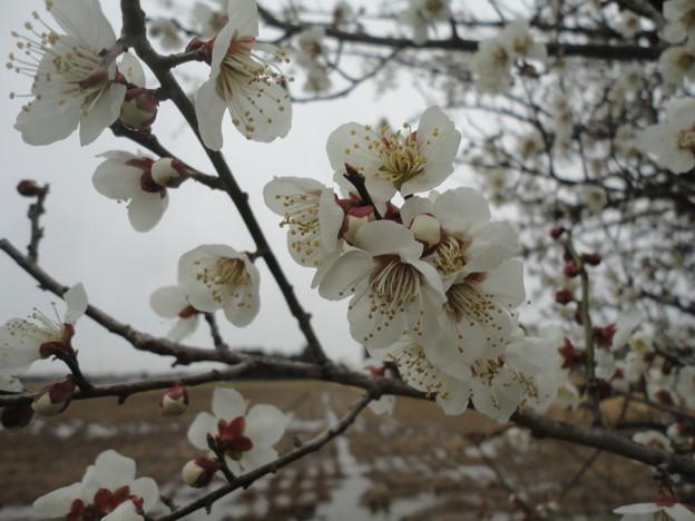 2018/03/21梅の花
