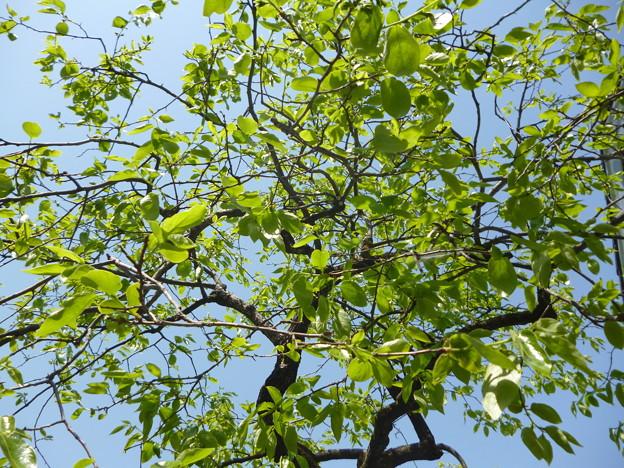 2018/04/29柿の木1