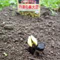 写真: 2018/06/21丹波の黒豆