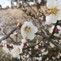 2020/02/19梅の花