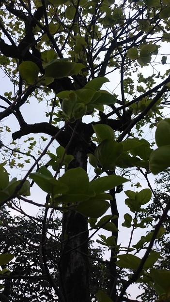 2020/08/08柿の木