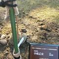 2020/11/22桜の定植2