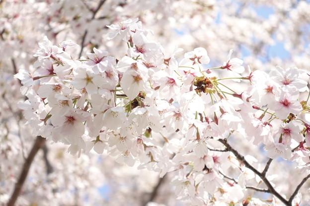 以前撮った桜