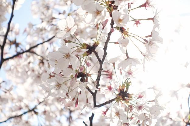 以前撮った桜2