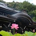 Photos: ハスの咲く寺