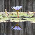 Photos: 雨上がりの蓮