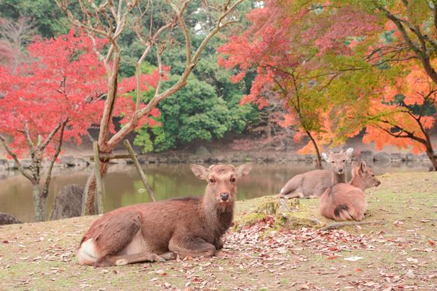 鹿と紅葉2