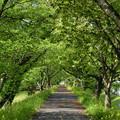 三刀屋川の桜並木