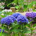 濃い色の紫陽花