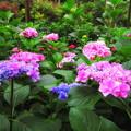 紫陽花グラデーション