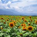 善入寺島の向日葵