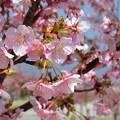 馬見丘陵公園の桜