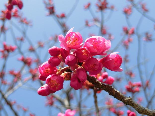 開花間際のカンヒザクラ
