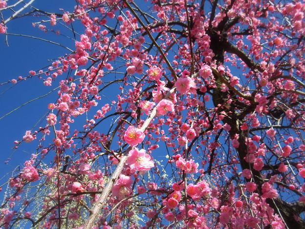 零れそうな枝垂れ梅