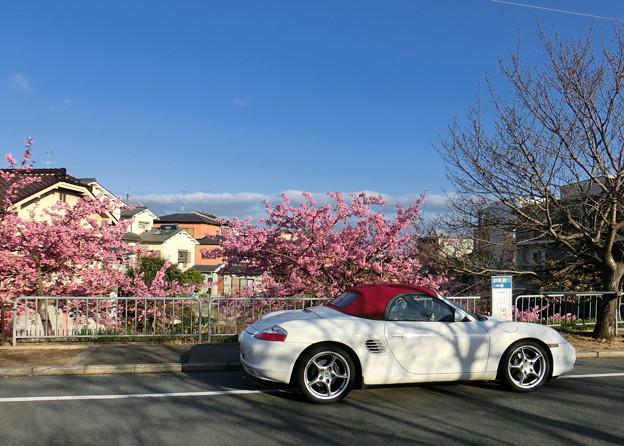 淀の河津桜観察