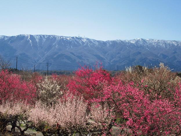 山脈と梅林