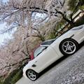 写真: 岩清水八幡宮の桜