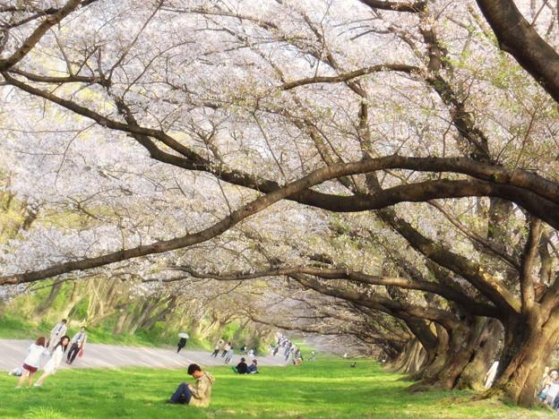 背割堤桜のトンネル