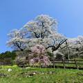 写真: 見上げる桜