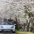 写真: 京北で見つけた桜並木