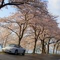 写真: 桜の海津大崎