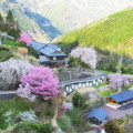 写真: 大石家の枝垂れ桜